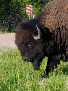 Buffalo (captured by Jason)